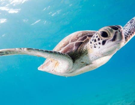 A Turtle in Bonaire