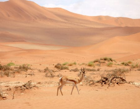 A springbok in the desert in Namibia