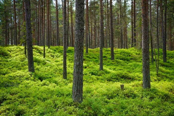 Estonia's beautiful forests cover a large part of the pristine country.