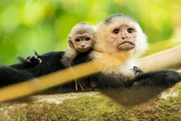 Monkeys in Panama