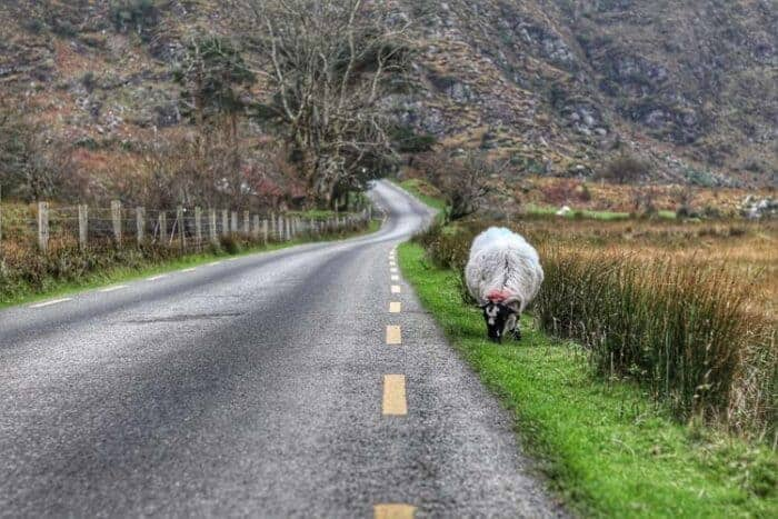 A sheep on the side of the road in Ireland
